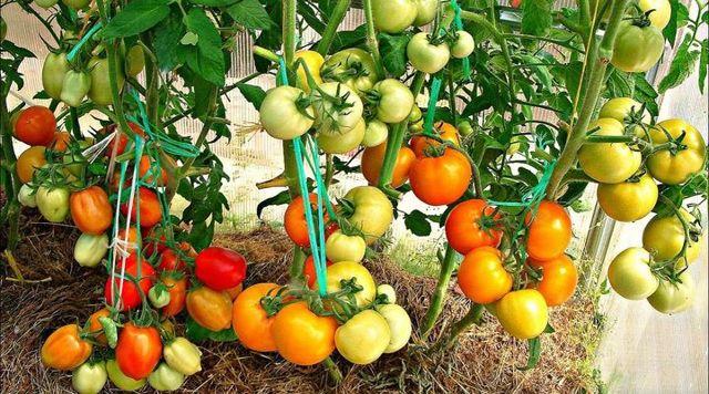 Польза и вред помидоров для организма мужчины и его потенции