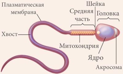 10 советов как 100% улучшить качество спермы у мужчин (+ препараты)
