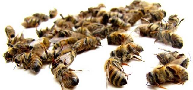Пчелиный подмор для потенции мужчин: рецепты и отзывы