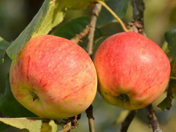 Яблоки для организма и потенции мужчины: польза и вред, рецепты, отзывы