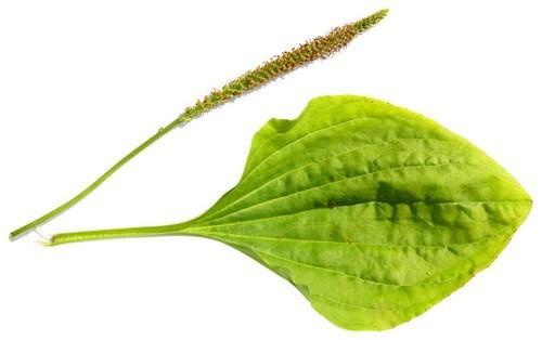 Семена подорожника для потенции: лечебные свойства для мужчин