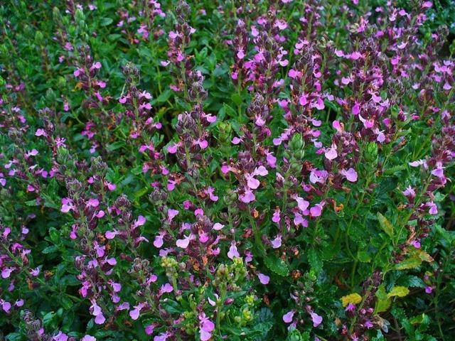 Трава дубровник для потенции: польза растения для мужчин