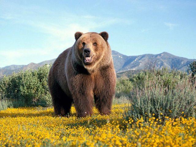 Жир для потенции: барсучий, рыбий, медвежий