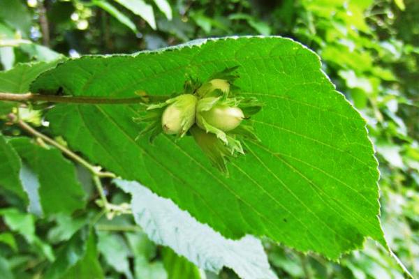 Лещина при простатите: лечение, рецепты с корой и листьями, отзывы