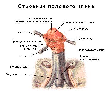 Где находится уздечка у мужчин (фото) на головке, что делать, если короткая и при других проблемах